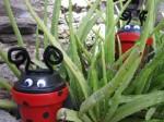 Ladybugs outside by the Aloe plants